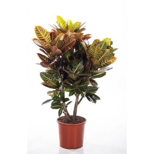 Croton struik nerve XL