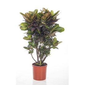 Fleur.nl - Croton struik Nerve XXL