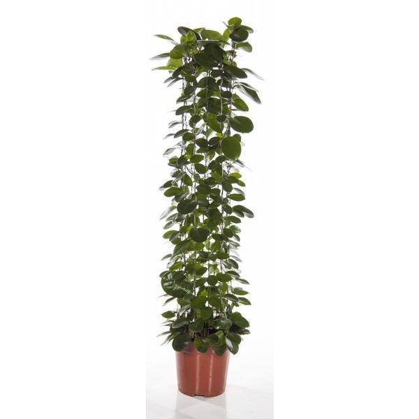 Hoya Australis medium
