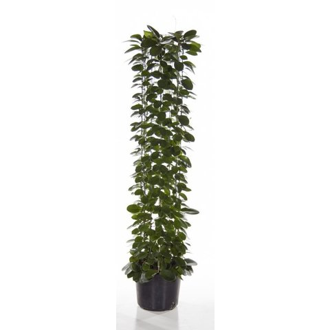 Hoya Australis Large