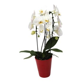 Fleur.nl - Orchidee White Cascade in pot Red