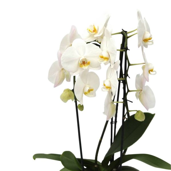 Orchidee White Cascade in pot Red