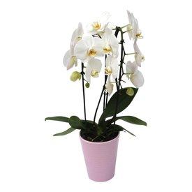 Fleur.nl - Orchidee White Cascade in pot Pink
