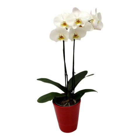 Orchidee White in pot Red