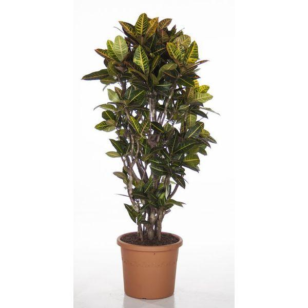 Croton struik XXL