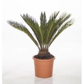 Fleur.nl - Cycas Palm Revolta XL