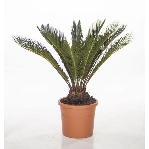 Cycas Palm Revoluta XL