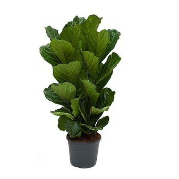 Ficus Robustica Vioolblad large