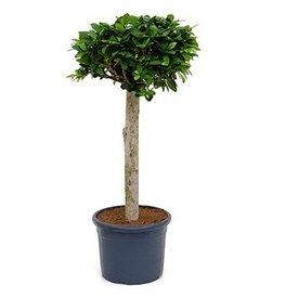 Fleur.nl - Ficus Bonsai rechte stam medium