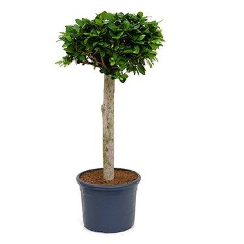 Ficus Bonsai rechte stam medium
