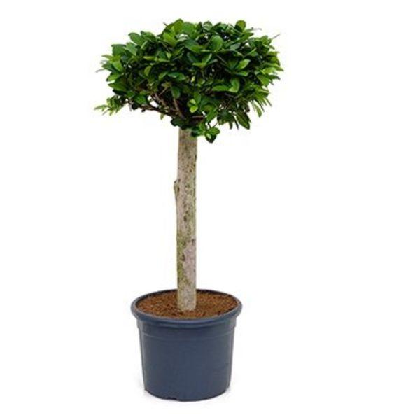 Ficus Bonsai stam medium