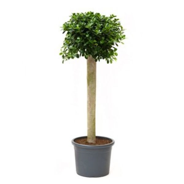 Ficus Bonsai Panda op stam XL