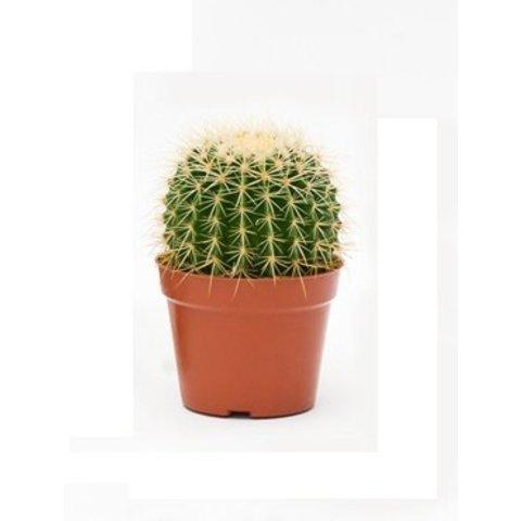Cactus Echino Grusoni small