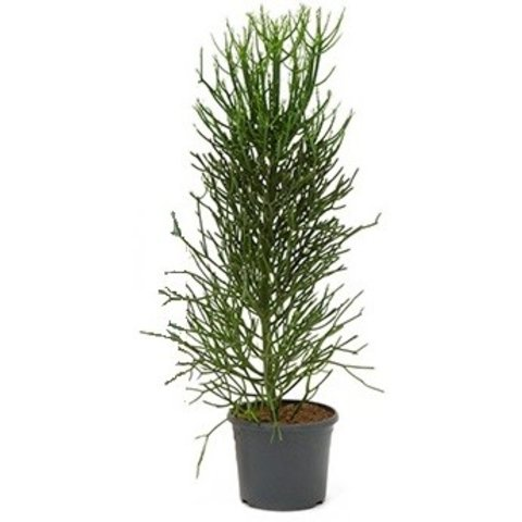Euphorbia Tirucalli large