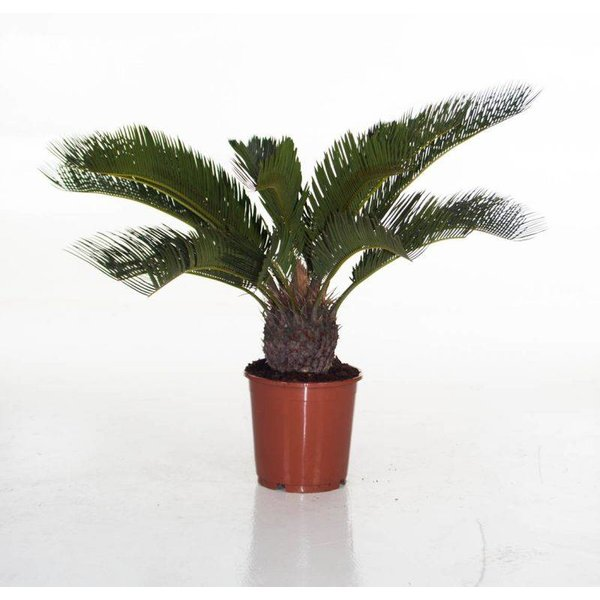 Lechuza Cycas Palm in watergevende pot