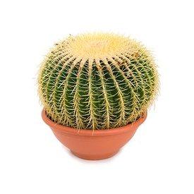 Fleur.nl - Cactus Echino Grusoni XL