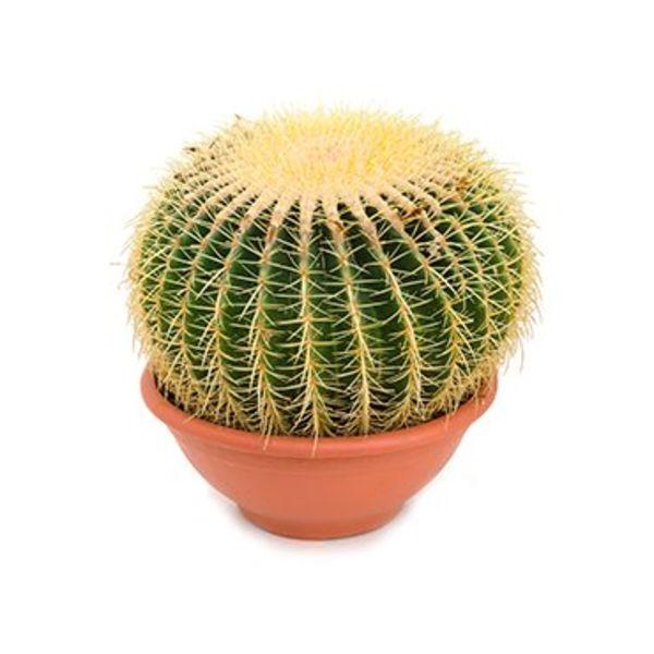 Cactus Echino Grusoni XL