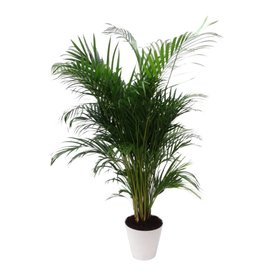 Fleur.nl - Palm Areca Lutescens in witte pot