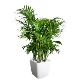 Fleur.nl -Lechuza Palm Kentia Howea in watergevende pot Large