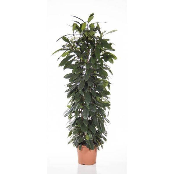 Ficus Cyathistipula XXL