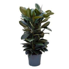 Fleur.nl - Ficus Elastica Abidjan Large