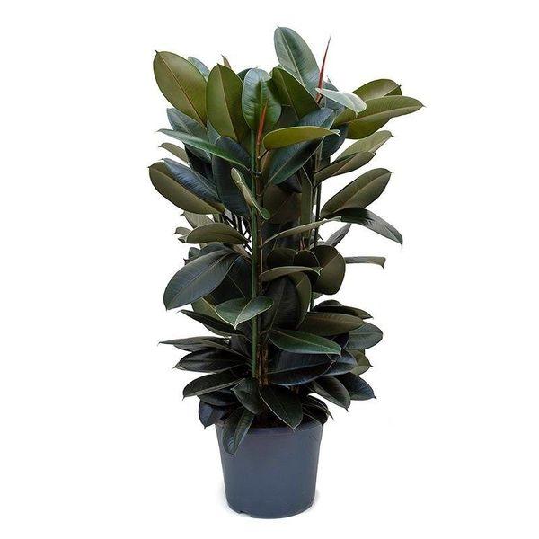 Ficus Elastica Abidjan Large