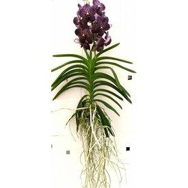 Fleur.nl - Vanda Dark Brown