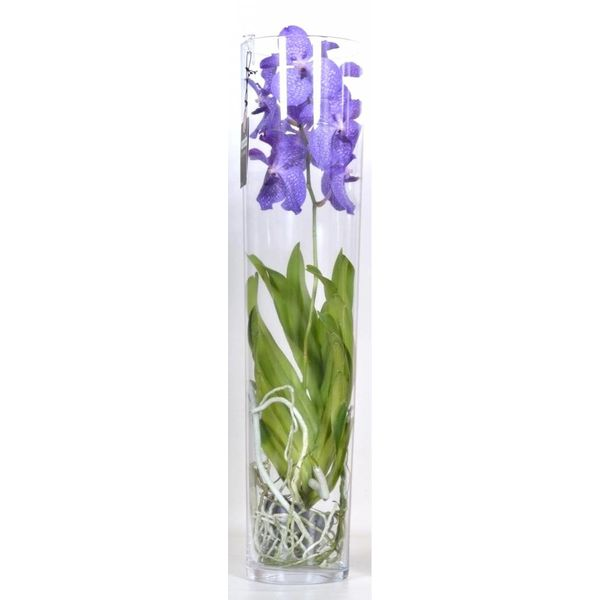 Vanda in Vase Lisann Purple