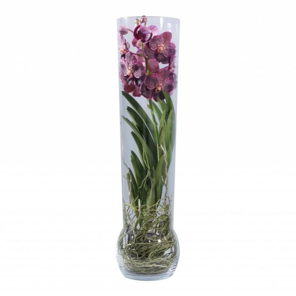 Vanda in Vase Exclusiv Red