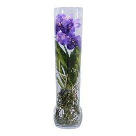 Fleur.nl - Vanda in Vase Exclusiv Purple