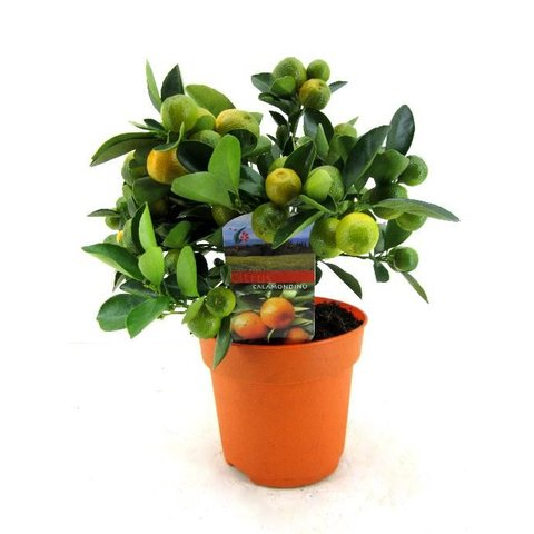 Sinaasappelboom Sinensis Bush Small