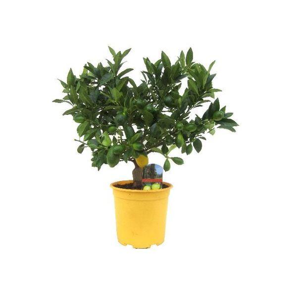 Citroenboom Medium Bush