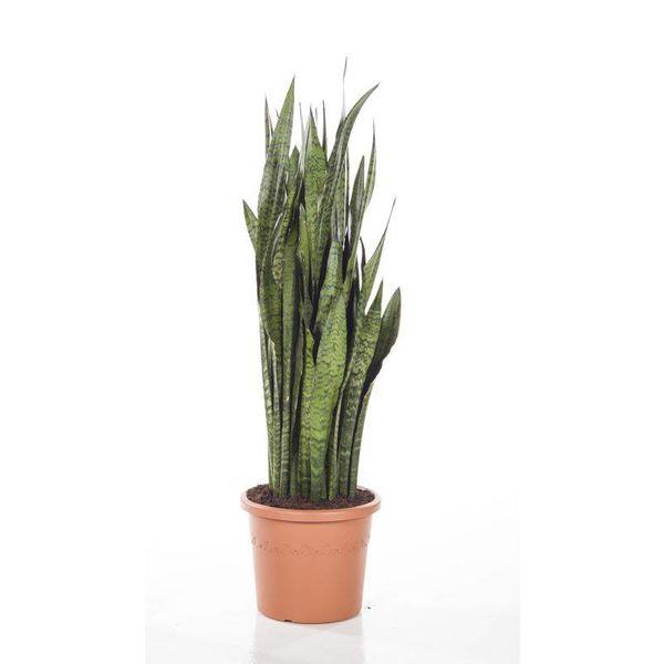 Sansevieria Zeylanica Large