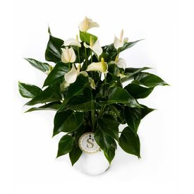 Fleur.nl - Anthurium Wit Medium