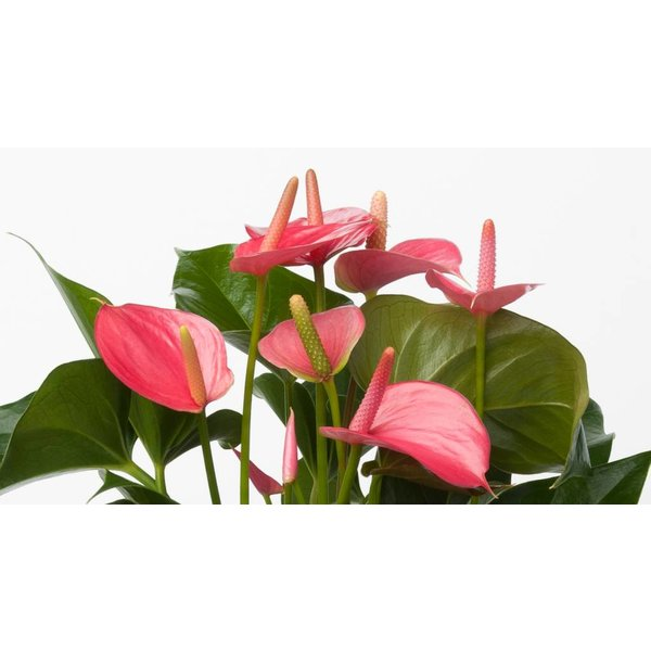 Anthurium roze in vaas Exclusiv