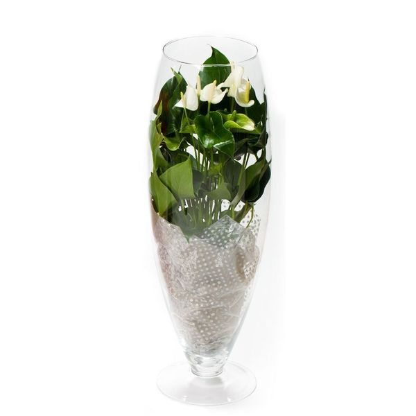 Anthurium Wit in vaas Exclusiv Large