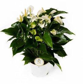 Fleur.nl - Anthurium Wit Large