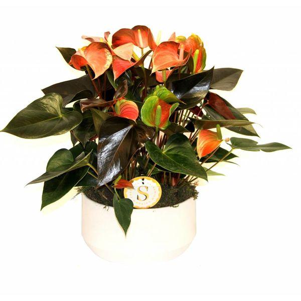 Anthurium Oranje in keramische schaal wit