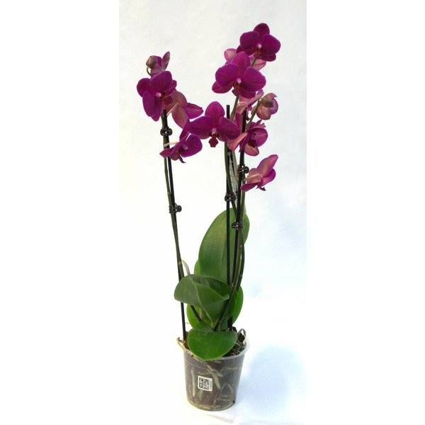 Orchidee Purple
