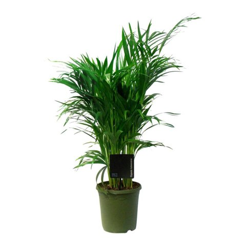 Palm Areca Lutescens small