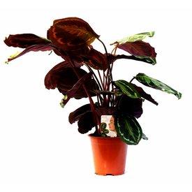 Fleur.nl - Calathea plant live Darkbrown