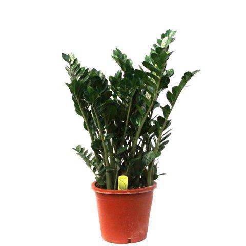 Zamioculcas Zamiifolia large
