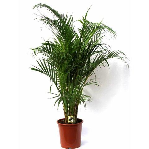 Palm Areca Lutescens medium