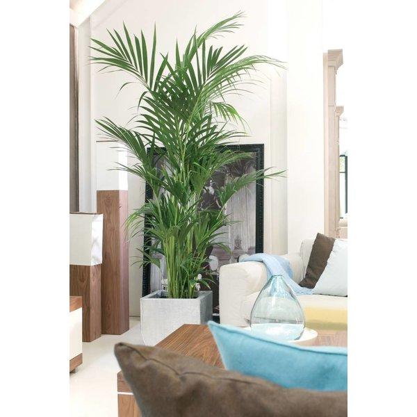 Palm Kentia Howea XL