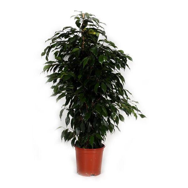 Ficus Exotica Benjamina Toef