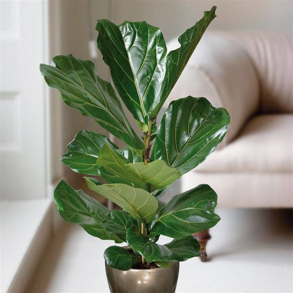 Ficus Vioolbladplant