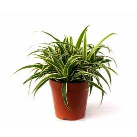 Fleur.nl - Vetplant Spider Ocean - Chlorophytum