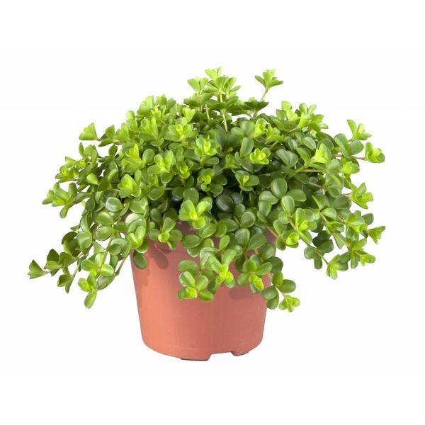 Vetplant Peperomia Deppeane