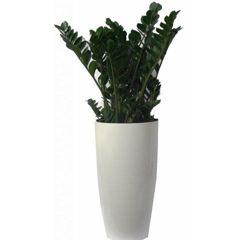Zamioculcas Zamiifolia in pot Elho