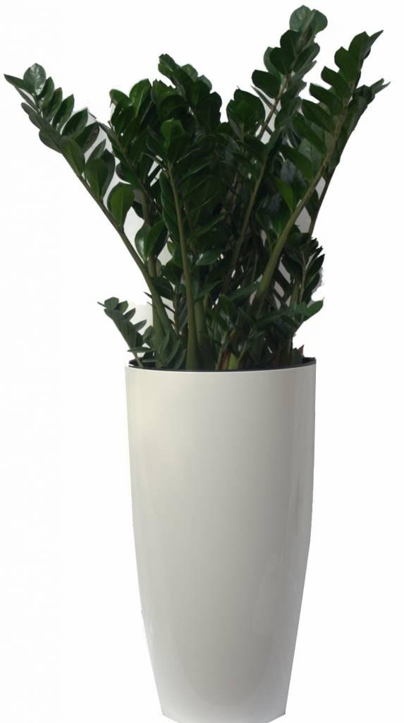 Kamerplant Hoge Pot.Zamioculcas Zamiifolia In Pot Elho Eenvoudig En Snel Online Bestellen
